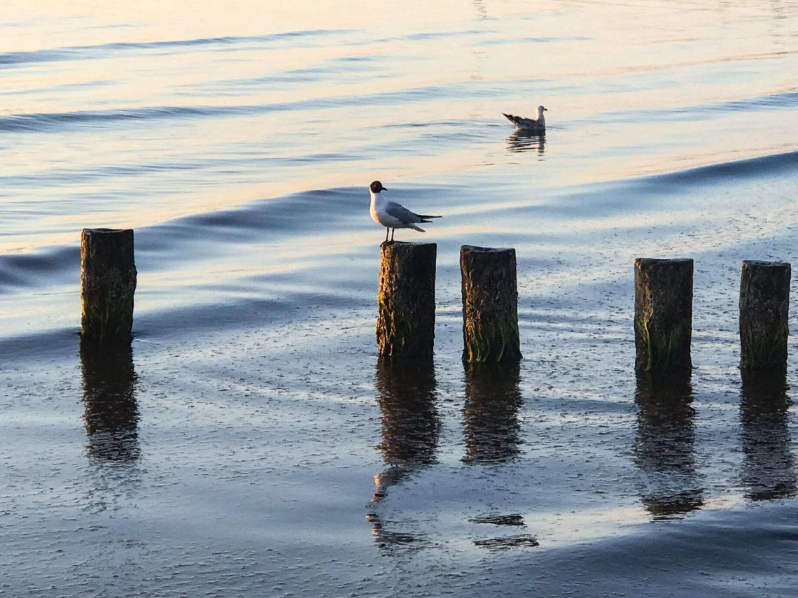 Möwe auf Dole auf dem Fischland Darß Zingst